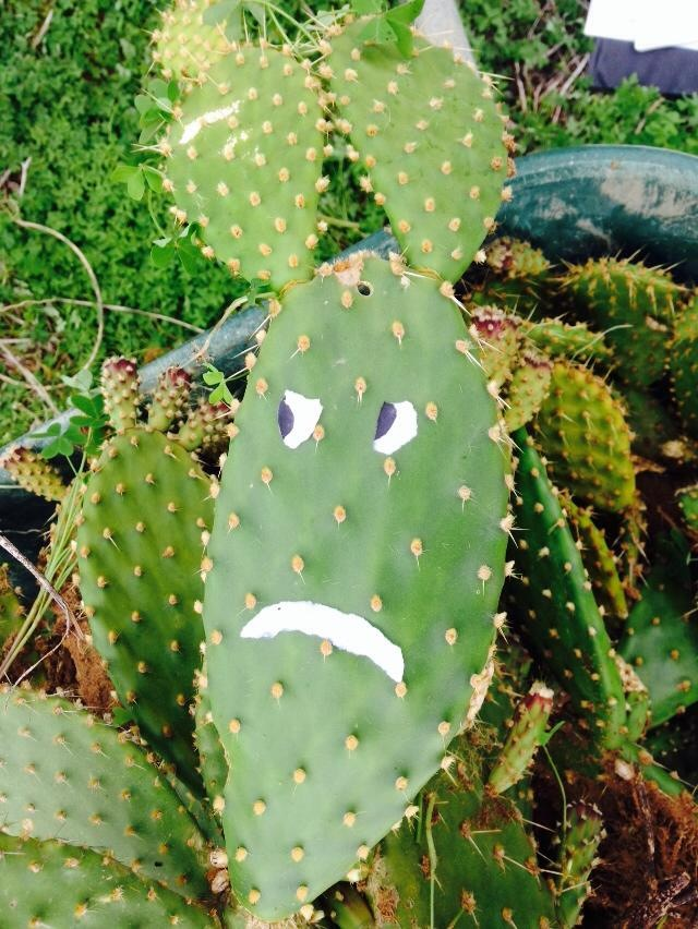 Rabbit Ear Cactus