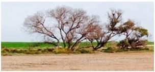 salinity impacted native vegetation